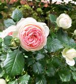img_200512_rose.jpg